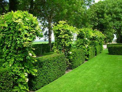 Eine durchgehende Hecke kann zu mächtig sein - besser sind dann Heckenriegel, die immer wieder von anderenPflanzen durchbrochen werden.