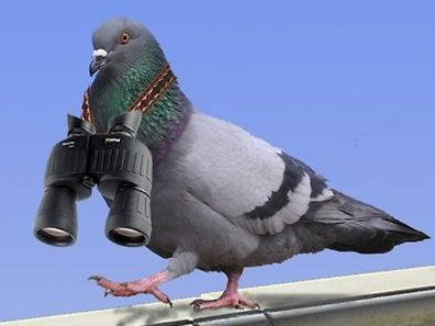 Not actual pigeon (obviously)