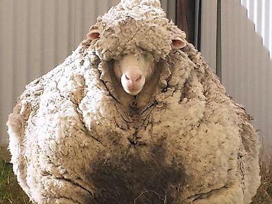 L'animal est très nerveux, c'est donc un champion de la tonte de mouton (si, si) qui se chargera de faire une belle coupe à l'animal.
