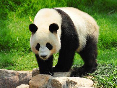 Panda gidante