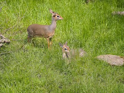 Dik-diks, drawf antelopes, at Amnéville zoo