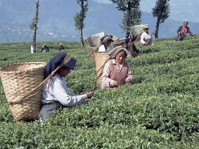 Illustration photo of pickers at a tea plantation
