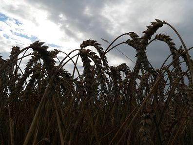 Tiefdunkle Wolken hängen mittlerweile über der stockenden Getreideernte im Ösling.