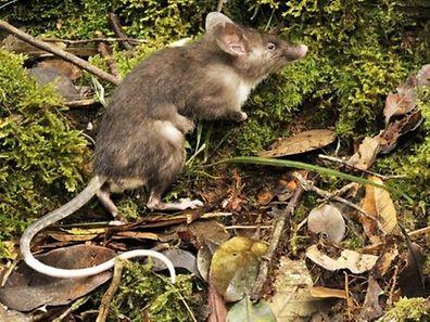 The hog-nosed rat