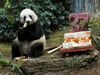 "Giant panda Jia Jia eats beside a birthday cake made from ice and vegetables as she celebrates her 37-year-old birthday at the Hong Kong Ocean Park, China, July 28, 2015. Jia Jia, the oldest giant panda living in captivity, set a Guinness World Records title for ""Oldest Panda Living in Captivity"" on Tuesday, with her age said to put her on par with a human centenarian. REUTERS/Bobby Yip      TPX IMAGES OF THE DAY"