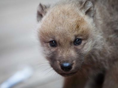 A wolf cub at Amneville Zoo