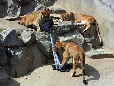 Lions playing a denim covered tire at the Kamine Zoo in Hitachi city in Ibaraki prefecture, eastern Japan.