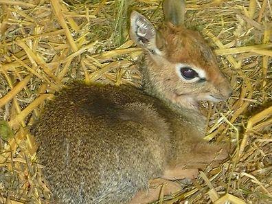 A dik-dik dwarf antilope born last October at the zoo