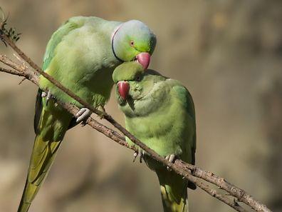 Halsbandsittig, Kleiner Alexandersittich, V�gel, Papagei, Afrika, Asien (Foto: Shutterstock)
