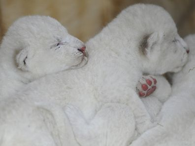 New born white lion cubs are pictured with their mother at the zoological park of the eastern French city of Amneville on April 17, 2015. AFP PHOTO / JEAN-CHRISTOPHE VERHAEGEN