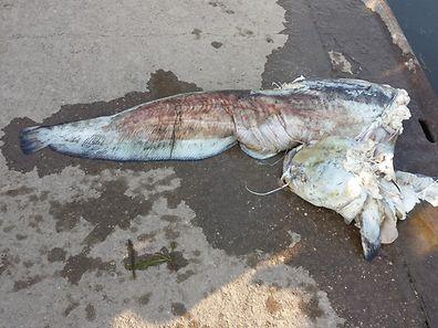 Der Fisch ist wahrscheinlich nach dem Kontakt mit einer Schiffsschraube verendet.