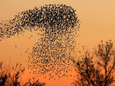 Illustration photo of a murmuration of starlings