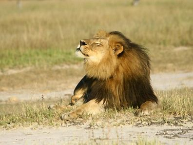 "Cecil the lion is seen at Hwange National Parks in this undated handout picture received July 31, 2015. The American dentist who killed Cecil the lion was a ""foreign poacher"" who paid for an illegal hunt and he should be extradited to Zimbabwe to face justice, environment minister Oppah Muchinguri said on Friday. In Harare's first official comments since Cecil's killing grabbed world headlines this week, Muchinguri said the Prosecutor General had already started the process to have 55-year-old Walter Palmer extradited from the United States. REUTERS/A.J. Loveridge/Handout via ReutersATTENTION EDITORS - THIS PICTURE WAS PROVIDED BY A THIRD PARTY. REUTERS IS UNABLE TO INDEPENDENTLY VERIFY THE AUTHENTICITY, CONTENT, LOCATION OR DATE OF THIS IMAGE. THIS PICTURE IS DISTRIBUTED EXACTLY AS RECEIVED BY REUTERS, AS A SERVICE TO CLIENTS. FOR EDITORIAL USE ONLY. NOT FOR SALE FOR MARKETING OR ADVERTISING CAMPAIGNS. NO ARCHIVES. NO SALES.      TPX IMAGES OF THE DAY"