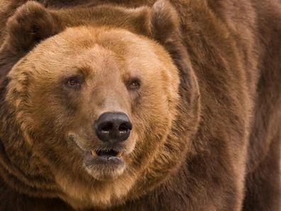 Les ours bruns, les plus nombreux avec environ 17.000 spécimens, sont installée dans 22 pays.