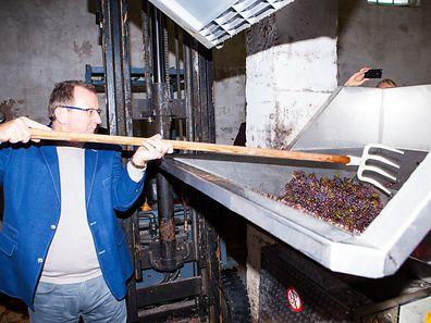 Weinbauminister Fernand Etgen hilft bei der Traubenablieferung in der Privatkellerei Krier-Bisenius in Bech-Kleinmacher.