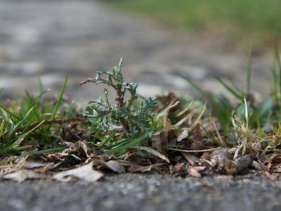 Unkraut oder Wildpflanze? Das liegt, wie so oft, im Auge des Betrachters.