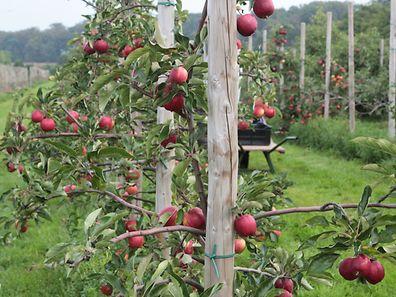 Der Apfel ist mit einer Produktion von etwa 2600 Tonnen und einem Anteil von rund 85 Prozent an der Gesamtproduktion das beliebteste Obst in Luxemburg.
