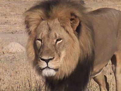 Cecil, le lion à la crinière noire.