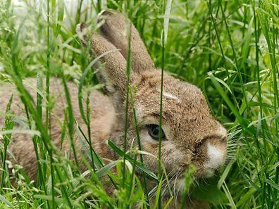 Plus de 60 lapins domestiques errent à Grevenmacher.