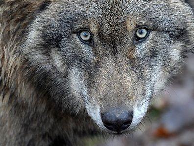 Glaubt man den Ministern, ist die Rückkehr von Wölfen nach Luxemburg nur eine Frage der Zeit.