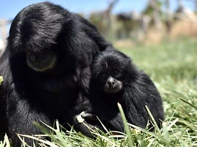 Young Siamang Gibbon looks on at the Attica Zoological Park in Spata, near Athens