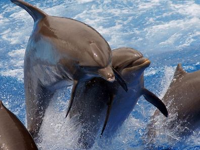 Delfine sind neugierig, doch der Fall aus Kalifornien ist bisher einzigartig (Symbolbild).