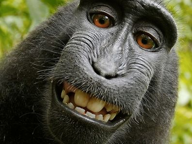 Say cheese - the, now famous, macaque monkey selfie