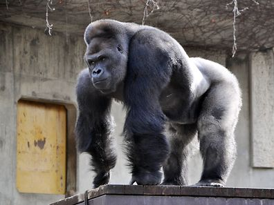 Giant male gorilla Shabani, weighing around 180kg at the Higashiyama Zoo, central Japan.