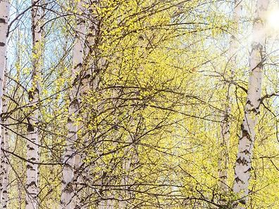 Le beau temps printanier et les quelques précipitations enregistrées ont fait proliférer les plantes et  favorisent la dispersion des pollens de bouleau