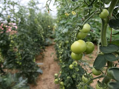 Tomatoes in a polytunnel.