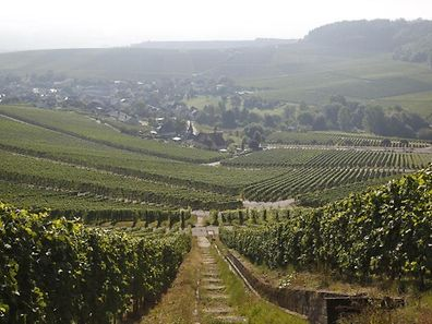 Weinberge an der Luxemburger Mosel