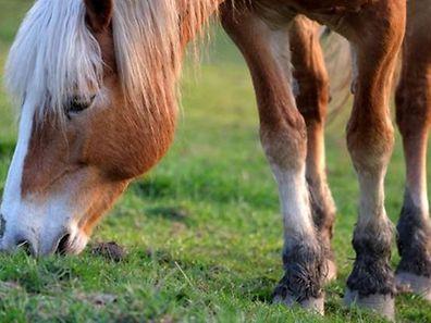 In mehreren EU-Ländern wurde offenbar jahrelang zum Verzehr ungeeignetes Pferdefleisch verkauft.