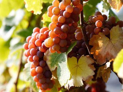 Ab Herbst 2014 werden die Trauben an der Mosel unter dem neuen Label AOP geerntet.