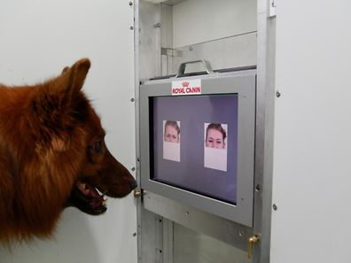 Un chien peut apprendre à distinguer entre les visages heureux ou en colère, selon une étude récente.