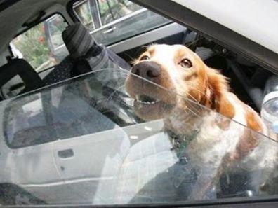 La voiture en plein soleil est un véritable piège pour les animaux.
