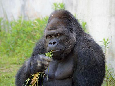 Schau mir in die Augen, Kleines: Gorilla Shabani beim gekonnten Flirt mit der Kamera.