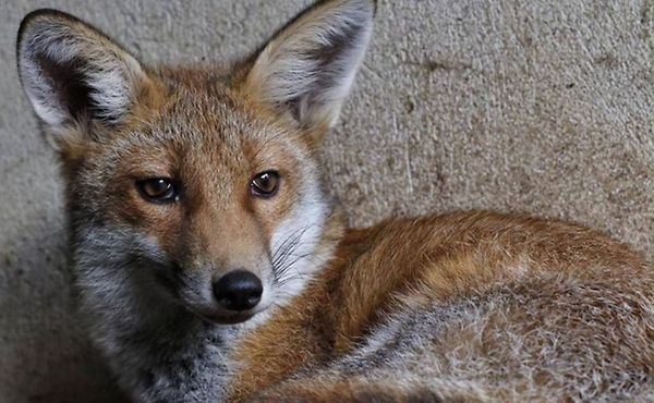 Rafi the Rock-A-Field fox released into the wild