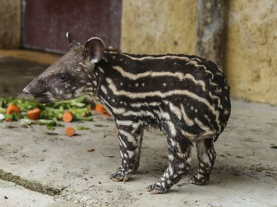 Baby tapir born last Thursday to Bernard and Rosa