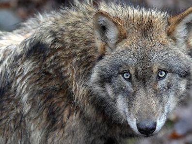 Un loup vit en général sur un territoire d'environ 250 km2. La superficie du Luxembourg est de 2.586 km2. Soit dix fois plus. Mais seule sa partie Nord conviendrait en réalité à son mode de vie.