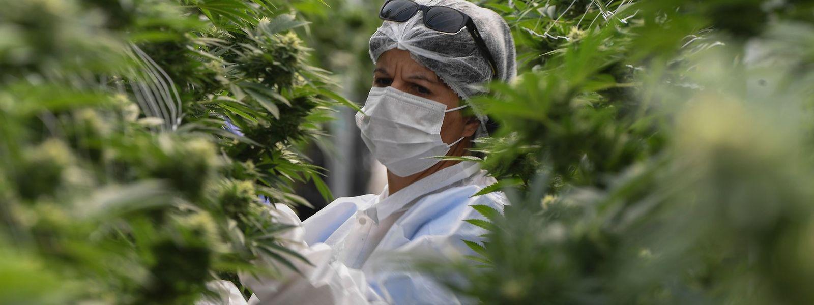 Eine Marihuana-Plantage in Uruguay: Das südamerikanische Land hat als weltweit erster Staat den Anbau und Verkauf von Cannabis unter staatlicher Kontrolle erlaubt. Luxemburg will ein ähnliches Modell umsetzen.