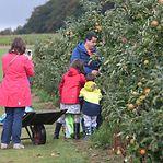 Contra o desperdício. Colheita gratuita de fruta em árvores das comunas com fita amarela