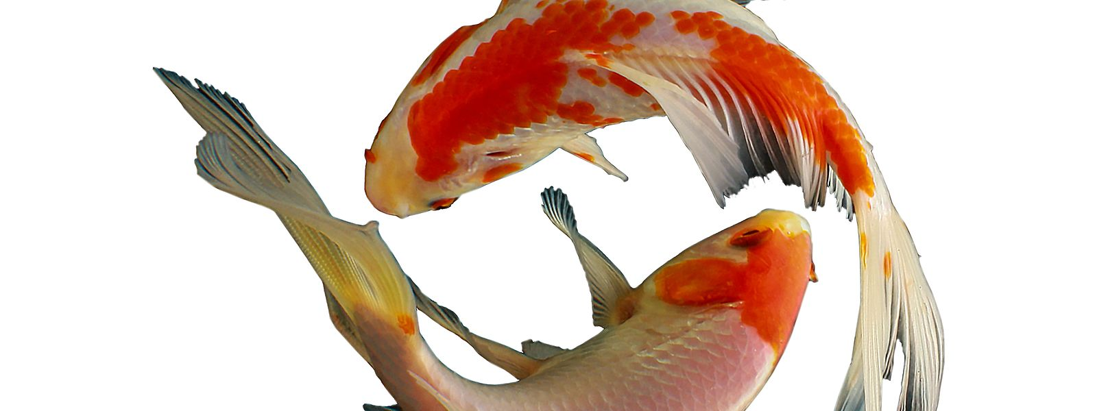 """Kois heißen in Japan eigentlich """"Nishikigoi"""" – was so viel bedeutet wie """"Farbkarpfen"""". Die Fische treten in verschiedensten Farbkombinationen auf."""