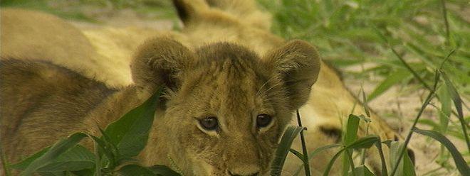Neun junge Löwen wurden im Borås Tierpark getötet.
