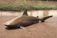 Der Bullenhai lag tot in einem Tümpel.