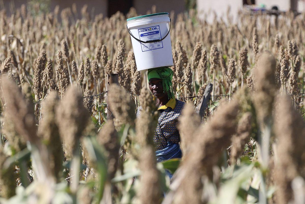 Eine Frau trägt einen Waserbehälter auf dem Kopf, während sie ein Feld mit Sorghum-Hirse durchquert.