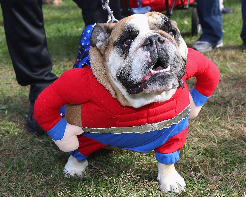 East Meadow (New York). Wenn die Tradition auf den Hund kommt: Eine englische Bulldogge im Halloweenkostüm im Eisenhower Park anlässlich des Barkfests.
