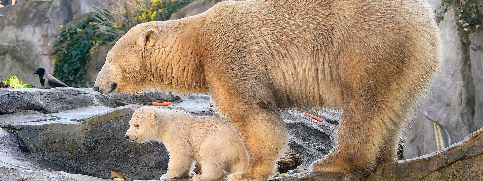 Le bébé ours polaire est apparu en compagnie de sa maman Nora aux yeux du public du zoo de Schönbrunn, ce jeudi à Vienne
