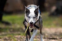 """HANDOUT - 21.11.2019, Australien, ---: Bear (dt. Bär), ein Koala-Spürhund, läuft mit einer Funkantenne, die an seinem Körper befestigt ist. (zu dpa: """"Ein Riecher für Koalas: Spürhunde helfen in Australiens Brandgebieten"""") Foto: --/IFAW/dpa - ACHTUNG: Nur zur redaktionellen Verwendung im Zusammenhang mit der aktuellen Berichterstattung und nur mit vollständiger Nennung des vorstehenden Credits +++ dpa-Bildfunk +++"""