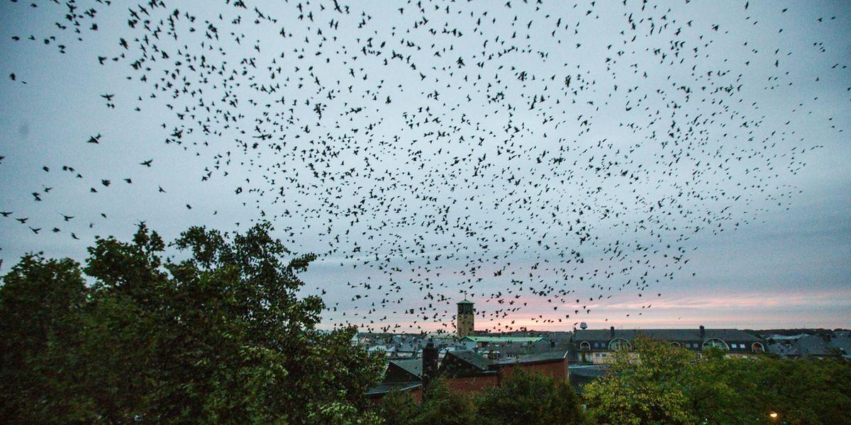 In riesigen Schwärmen fliegen die Stare morgens von ihren Nestern in Bonneweg in Richtung Moselgegend und kehren abends wieder zurück. Ein Spektakel, das nicht spurlos vorüber geht.