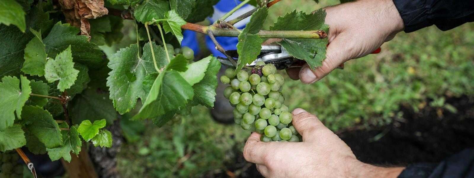 La principale crainte des acteurs du secteur viticole pour les vendanges 2021 tient encore une fois aux effets potentiels de la pandémie sur la présence en nombre de main-d'oeuvre suffisante.